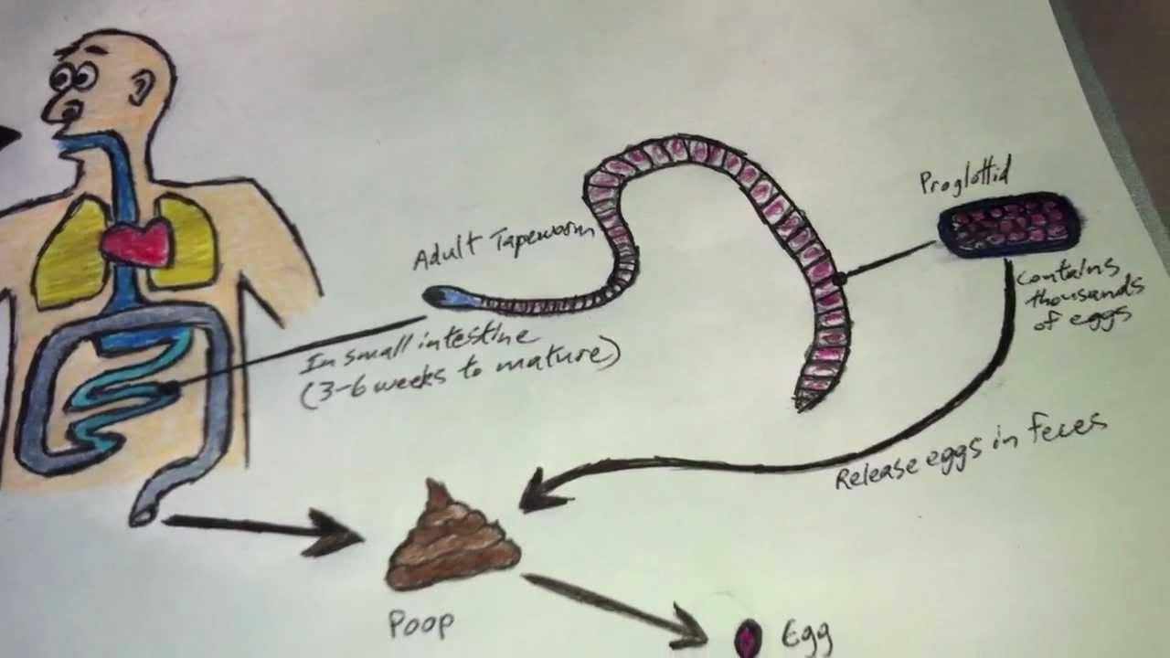The fish tapeworm human parasite diphyllobothrium for The fish com