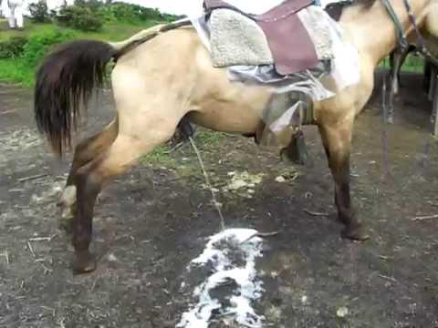 horse pee