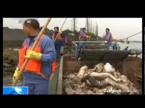 3,000 dead pigs found in Shanghai river