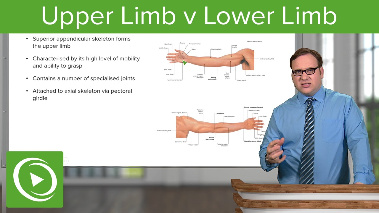 Upper and lower limbs anatomy