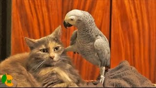 Parrot testing the patience of a cat