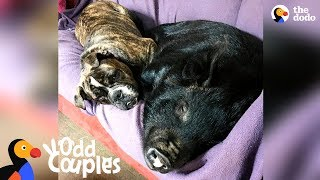 Dog Becomes Mom To Rescue Piglet | The Dodo Odd Couples