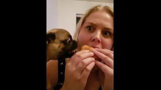 Puggle Loves Cheeseburger || ViralHog