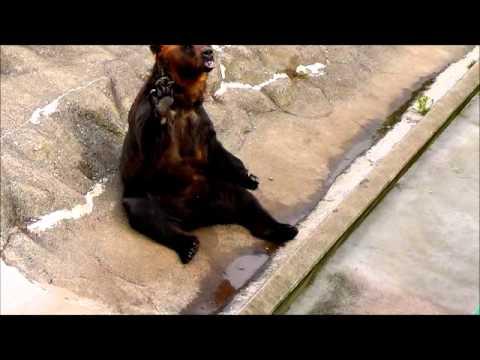 2011年7月24日 釧路市動物園 エゾヒグマのおねだり