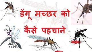 डेंगू मच्छर को कैसे पहचाने - Dengue Machar Kaisa Hota Hai | Iski Kya Pahchan Hai