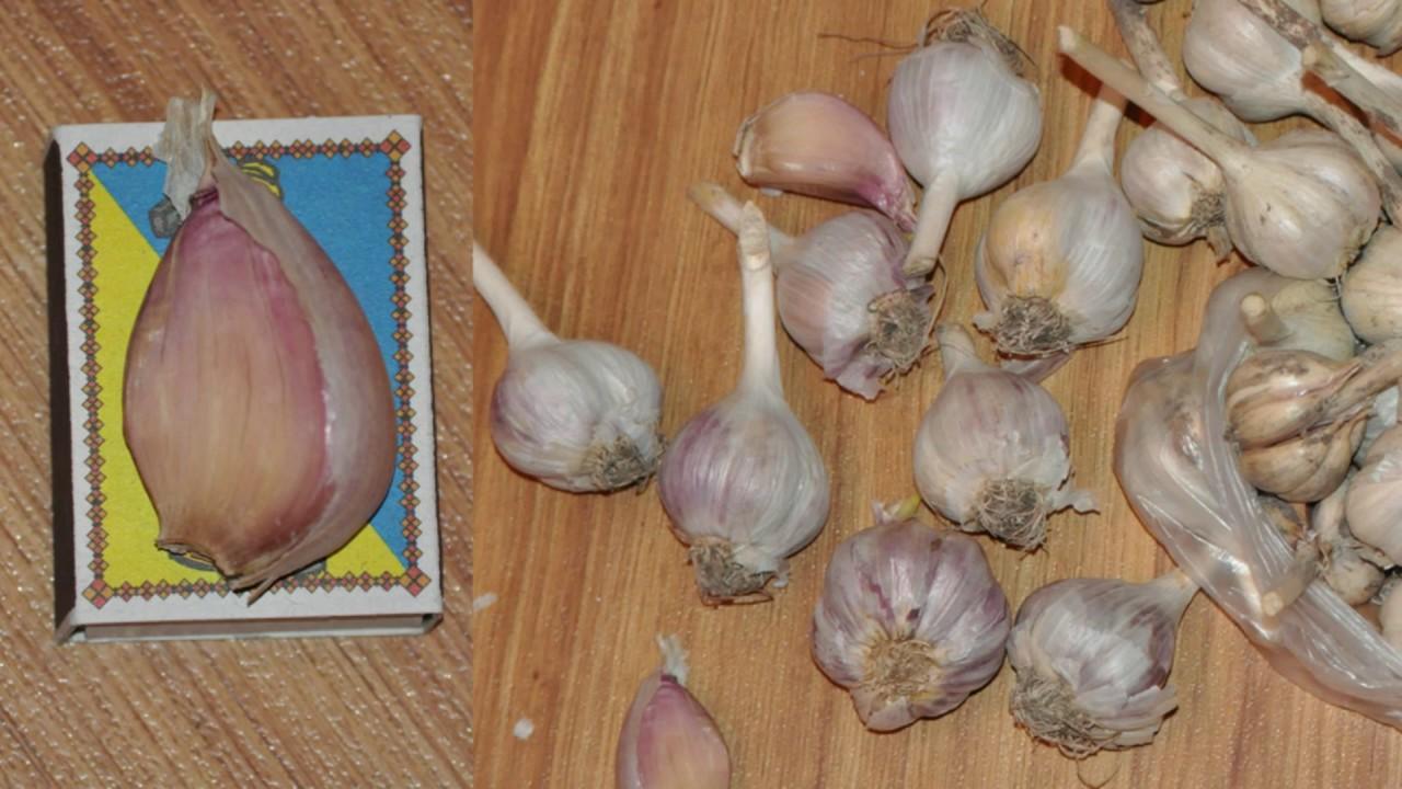 Как сажать чеснок луковичный 71