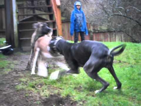 Great dane, english mastiff, min pin and Huskey mix - YouTube