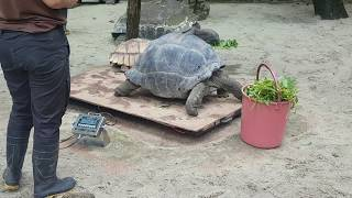 Singapore Zoo giant ninja turtle getting his BMI weight