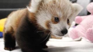 Twin Red Panda Cubs at Lincoln Children's Zoo