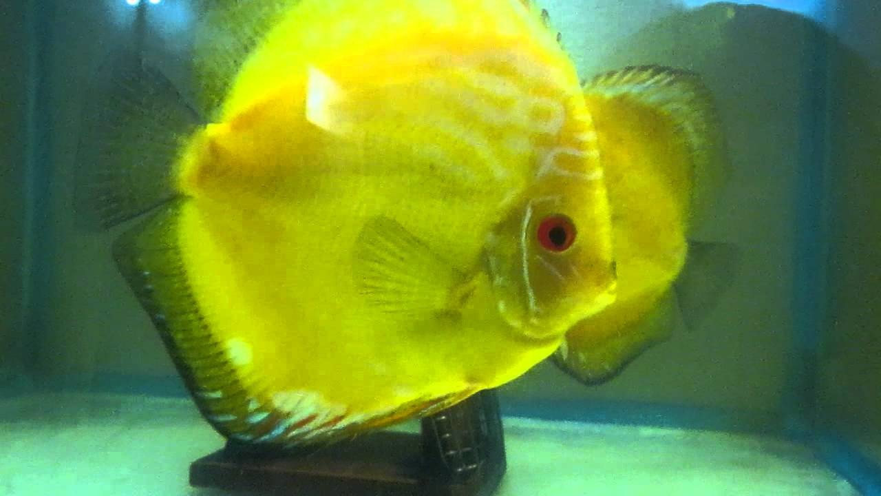 Yellow crystal breeding pair shiva discus youtube for Keeping discus fish