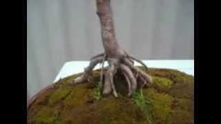 Como escojer un árbol para el bonsai