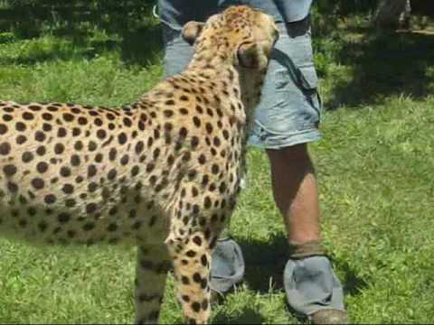 King Cheetah vs Cheetah Cheetah And King Cheetah