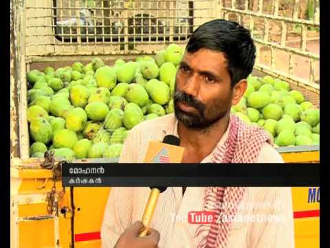 Trained employees shortage Mango farmers on crisis : Chuttuvattom News