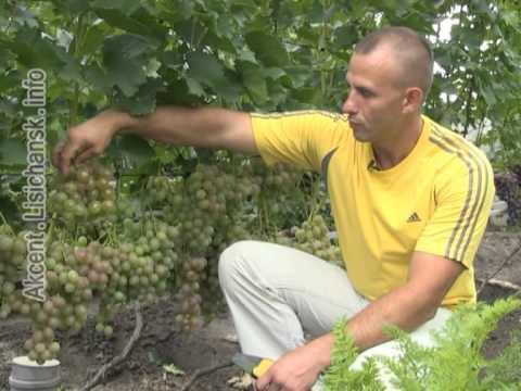 Сам себе агроном.  Дегустация летних сортов винограда