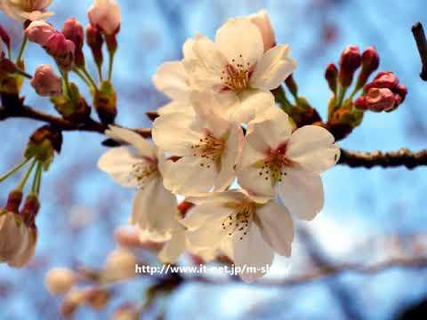2018年の桜