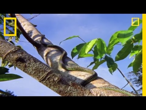 Flying Snake Hunts Leaping Lizard