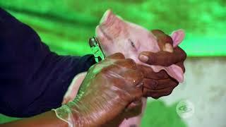 Protocolo de atención a cerdos recién nacidos | La Finca de Hoy