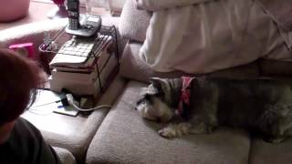 Schnauzers with Toy Hamster