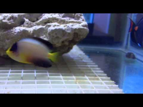Achilles tang, mystery wrasse, multicolor angel, blue stripe tang, and starry blenny