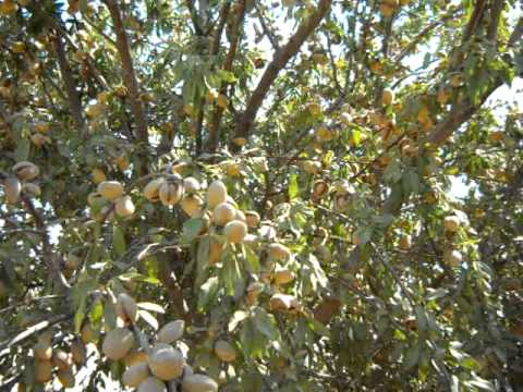 how to make macadamia nut tree more fruitful