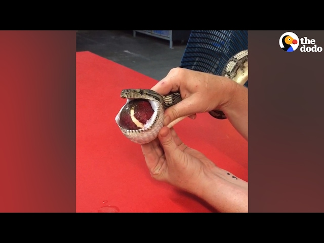 Vet Massages Tennis Ball Out Of Snake