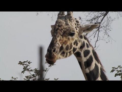 シマウマとキリン 天王寺動物園にて Zebras and giraffes at Tennoji zoo in Japan