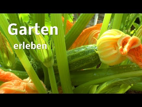 Garten Gemüse und Anderes im Juni Schnecken fangen