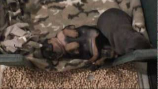 Min Pin babies sleeping with legs up.MPG
