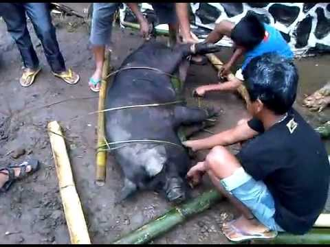 Cara Ikat Babi ~acara Pemakaman Nene Sarrin - Budaya Sereale (toraja) video