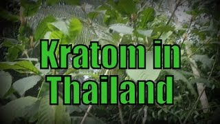 KRATOM IN THAILAND - Kratom growing and eating in Southern Thailand - Mitragyna speciosa กระท่อม