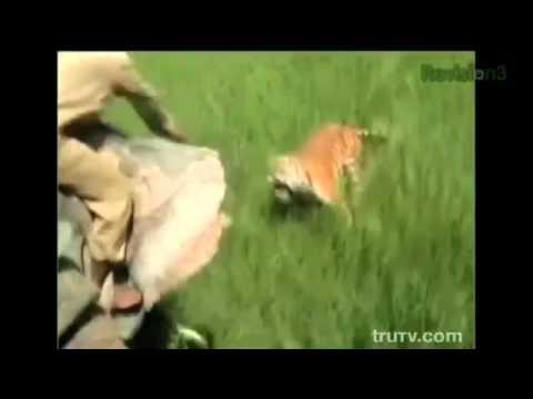 Tiger elephant gif