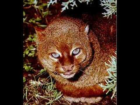I chose the Jaguarundi first in the Cats series because they rule!