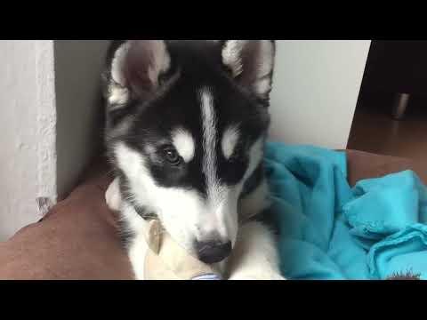 MEIN ERSTER HUSKY WELPE zieht ein//HUSKY PUPPYS NEW HOME! CUTEST PUPPY EVER I ellylicious ♡