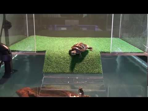 sliders first visit to acrylic above tank basking platform part one