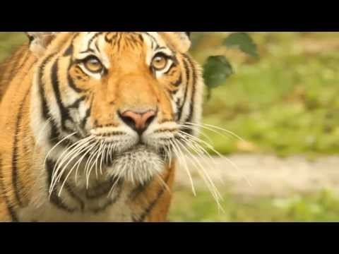 Tiger Conservation Campaign Video