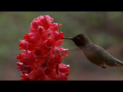 Snow Plants - Yosemite Nature Notes - Episode 21