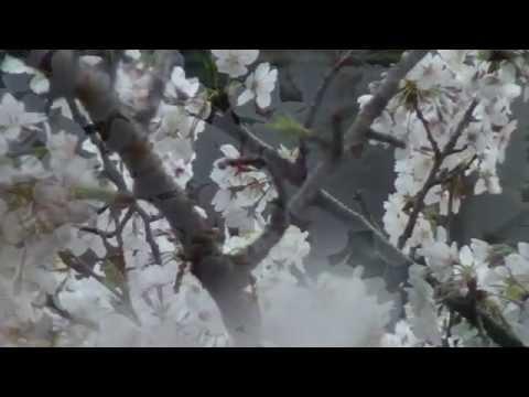 森山直太朗「花鳥風月」(「土曜ワイド劇場」エンディング曲) カバー by Kannosuke