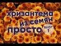 Хризантема из семян | ПРОСТО | ШАГ 1