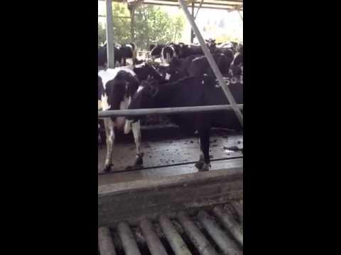Dairy Farming in Israel Dairy Visit in Israel Part2