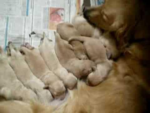 golden retriever puppies mn. Golden Retriever Puppies