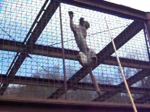 とべ動物園ピューマのクライミング20100328_73.AVI
