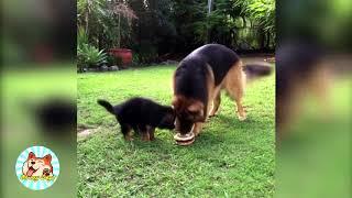 Funny German Shepherd Puppies Compilation