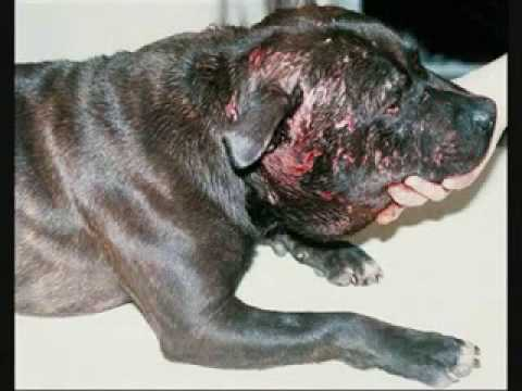 Pit bull vs Rot Video