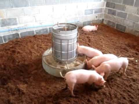 Oderless Pig Pen Phangnga Thailand Youtube