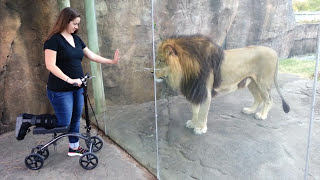ORIGINAL VIDEO   This Lion Really Wants Her Scooter