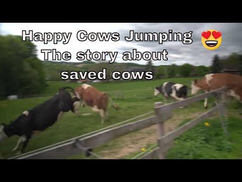 開放された牛達
