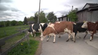 """happy Cows"" Kuhrettung Rhein Berg english subtitles / vacas liberadas"