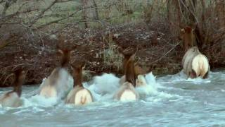 Elk crossing high water in the Naches River - high def version
