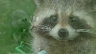 Happy Birthday, Funny Raccoon Style!