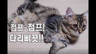 먼치킨숏다리 고양이점프력! 귀여운고양이동영상